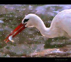 The Clever Hunter.. Even at rainy weather..!! (Atef A. Iskander) Tags: bird nature birds canon eos bravo explore hunter 2007 nationalgeographic 30d aclass iskander naturesfinest fpc rainyweather eow atef shiningstars canoneos30d canonef70200mmf28lisusm 35faves beautifulcapture mywinners mywinner abigfave platinumphoto anawesomeshot impressedbeauty aplusphoto flickrhearts irresistiblebeauty amazingshots superbmasterpiece avianexcellence diamondclassphotographer flickrdiamond superhearts atefiskander2007 atefiskander citrit heartsaward cleverhunter