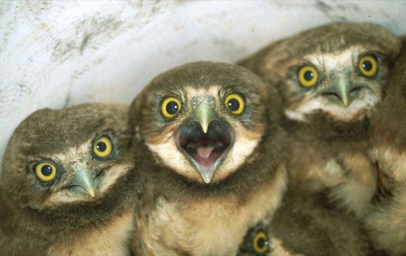 owlbaby.jpg