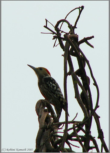 Mahratta WoodPecker