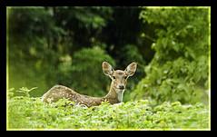 Soaking in the rain... (Desinor) Tags: green nature breathtaking welltaken animalkingdomelite indiannaturephotographer bestnaturetnc07