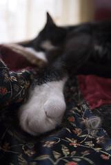 Kitty Paw (Jocelyn Bassler) Tags: cat lens paw nikon jocelyn sigma fisheye d200 15mm percy jocie jocieposse