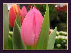 One Moment in Time (Neelofar_USA) Tags: pink flowers pakistan flower tulip bloomingflowers supershot masterphotos platinumphoto anawesomeshot aplusphoto diamondclassphotographer flickrdiamond brillianteyejewel photofaceoffwinner excapturemacro