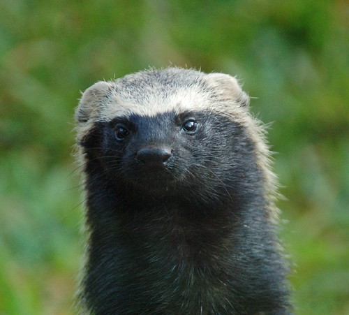 Grison, Itaupu zoo