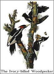 Search for the Ivory-billed Woodpecker