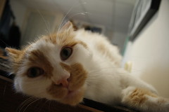 Simba (HaZe Photography) Tags: orange white cute cat funny kitty wideangle camfmar08