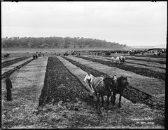 Ploughing match (Powerhouse Museum Collection) Tags: dc:identifier=httpwwwpowerhousemuseumcomcollectiondatabaseirn30123 xmlns:dc=httppurlorgdcelements11 powerhousemuseum ploughing horses teams men plow horsedrawnplow lines rows farming flat 132kerrysydney