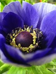 Purple felicity (blondepowers) Tags: blue flower macro green spring purple blossom lila anemone stamen grn blau blume blte corolla felicity frhling poppyanemone glck windflower windrschen specnature crownanemone superbmasterpiece anemonecoronia