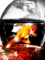 Golden Fish (Mehrad.HM) Tags: fish golden sony h9 norooz norouz    mehrad     iranianpeople sonyh9 dsch9 cybershotdsch9 mehradhm tongebolur httpwwwflickrcomgroupsiranianpeople groupsiranianpeople