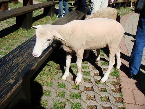 no firs sheep