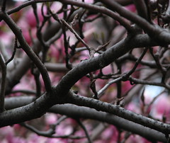 Branches Branches Branches (Atomic Citrocity) Tags: flowers spring dof branches