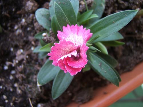 Dianthus Unfurls