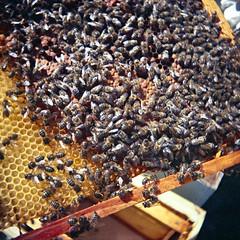 de volta aos pequenos astronautas (pt. +00) (PedroDamião) Tags: diana dianaf kodak portra160nc bees abelhas pequenos astronautas analogico