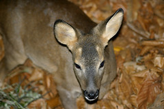 Mon ami Bambi, le faon des Cévennes