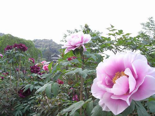 満開の「牡丹」!美しい花の御寺『長谷寺』@桜井市