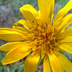 Yellow Flower -  cell-phone photo - Arnica , Arnika,flowering (eagle1effi) Tags: cameraphone flowers flower macro nature yellow mobile fauna nokia flora phone natur cellphone blumen foliage amarillo gelb mobilephone gps fiori blume fiore celly damncool d6 tessar arnica arnika views200 carlzeisstessar f2856 eagle1effi naturemasterclass ae1fave 6220c1 carlzeiss yourbestoftoday 50megapixel exacthybridgeomapped cellybest