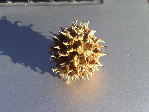 Liquid amber seed pod