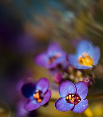 Sweet Dreams (dafoeoflenin23) Tags: blue summer sun flower green art love nature floral beauty grass modern relax photography gold spring pretty dof purple bright bokeh small calm zen tiny lovely decor schwartz soothing alyssum soothe sherstin