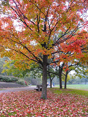 Autumn Scene... (Diego3336) Tags: park autumn red urban toronto ontario canada tree fall nature leaves leaf maple oak riverside humber lionspark