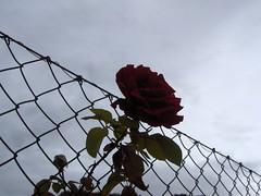 La rosa libre