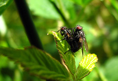 love is in the air 37 (Antonio Costa) Tags: love flies moscas novideo naturesfinest antoniocosta
