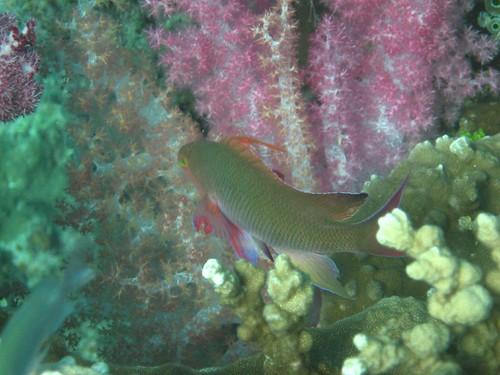 Makogai fish 7