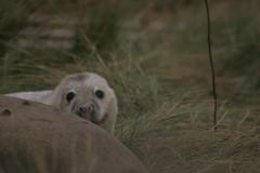 DN_C2 (23) (david_a_robin) Tags: lincolnshire seals donnanook