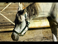 [        ] ([Miss DIOR]) Tags: horse white is sad best miss dior arabin