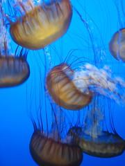 IMG_0764.JPG (joelaz) Tags: aquarium monterey jellyfish acquarium