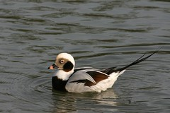 Long Tailed Duck (dayglowill) Tags: bird nature sussex wildlife arundel wwt