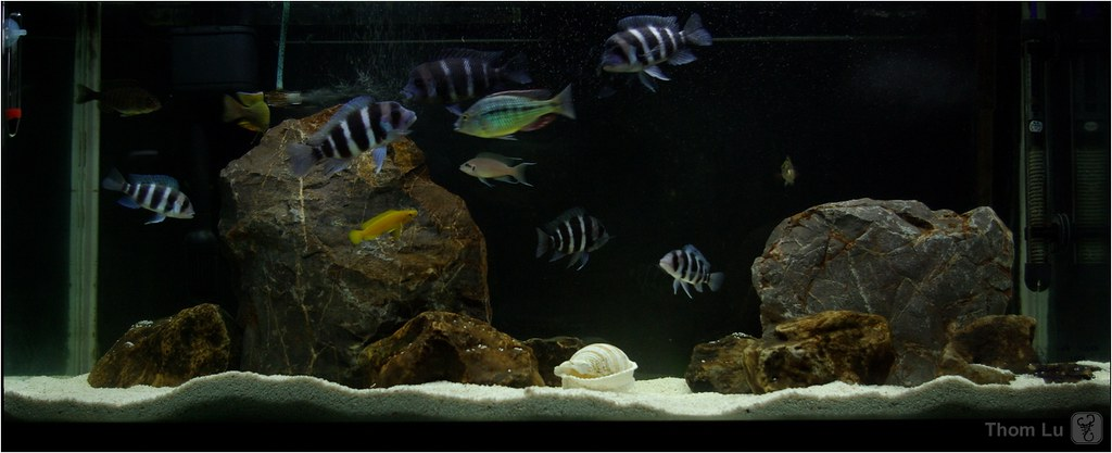 The Worlds Best Photos Of Cichlid And Frontosa Flickr Hive Mind