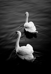 Together (GlyKr) Tags: white black swans bwdreams naturewatcher
