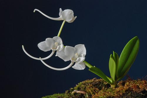 Amesiella philippinensis A