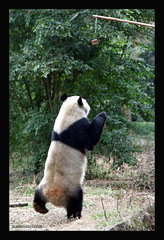 Panda Base in Chengdu China...panda exercise (electra-cute) Tags: china panda chengdu 2008 base adoption pandarazziblog
