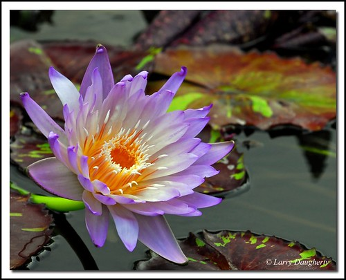 Water Lily No. 3 at the Botanical Garden