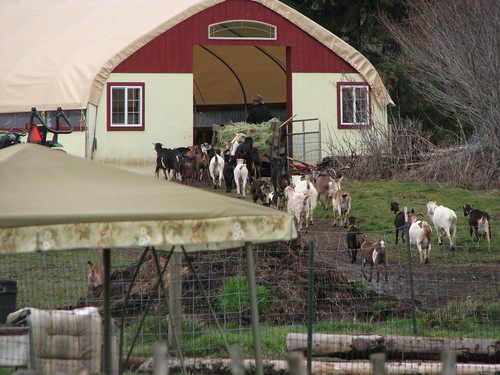 Goat Exodus