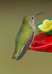 She is so pretty (bison_bill_c) Tags: nature birds hummingbird birdwatcher smrgsbord aficionados myyard supershot abigfave pentaxk10d avianexcellence brisbanebirds flickrgolfclub goldstaraward