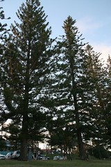 Norfolk Pines at Scarborough