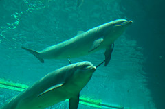 Aquarium in Genua - ITALY (olszuffka) Tags: blue italy water smile animal swimming aquarium dolphin genes genua gnes