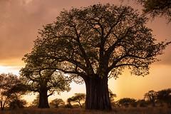 Tarangire Landscapes (virtualwayfarer) Tags: tarangirenationalpark tarangire nationalpark wildlife animals wild safari adventuresafari photosafari canon dslr decembersafari tanzania africa tanzanian sunset sunrise light dramatic aweinspiring landscape wildlandscape nature natural subsahara subsaharanafrica eastafricariftvalley riftvalley baobab baobabtree natgeoinpsired nationalgeographicinspired alexberger safariphotos adventuretravel solotravel travelinspiration photographyinspiration