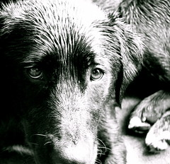 billie (tartalom) Tags: mongrel billie wetdog thelittledoglaughed tartalom justabouttolickthecamera christophersweeney
