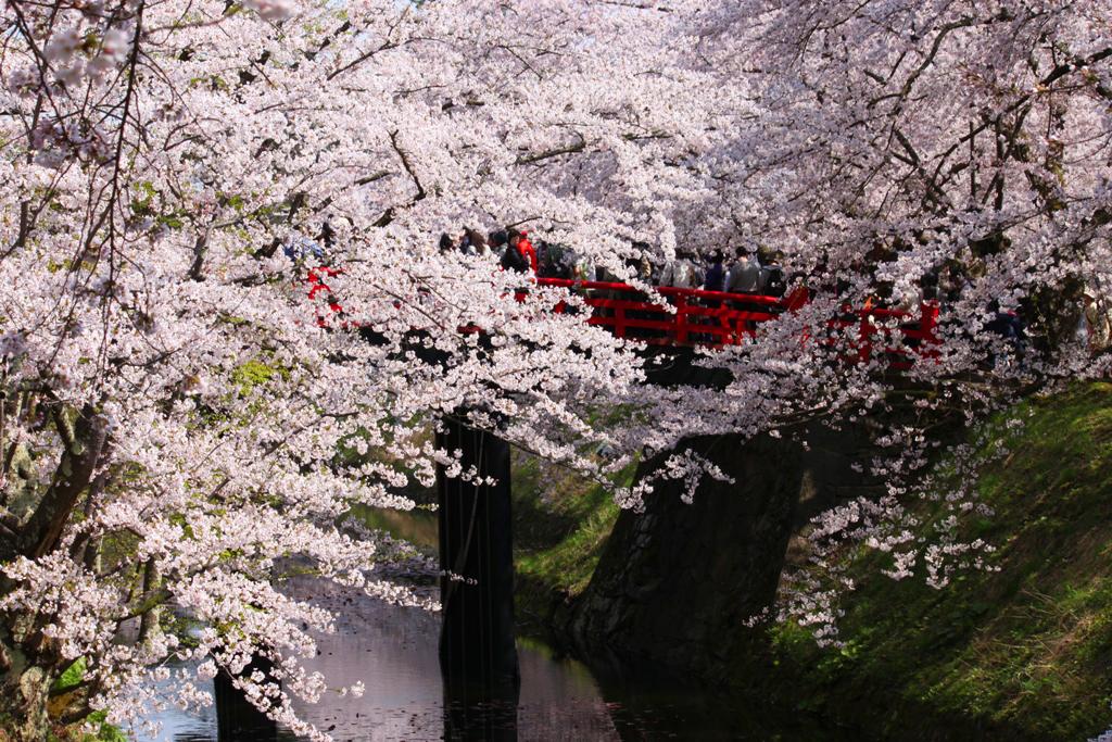 Hirosaki Park Sakura (14)