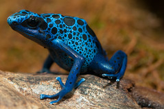 [Free Image] Animals, Amphibian, Frog, Blue Poison Arrow Frog, 201106160500
