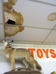 Yeeeeeah, that's gonna run you about $1500 (mary k) Tags: andlotsofit cartersvillega carlthecoyotecontractor holtpharmacy taxidermyinaverystrangeplace