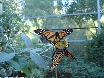 Borboleta-monarca1