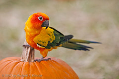 The Great Halloween Parrot (Michael Pancier Photography) Tags: halloweenparrot linusrocks autumn michaelpancier michaelpancierphotography parrot pumpkinpatch pumpkins bird miamilakes florida usa parrothead orange fall canoneos5d canon7020028lusmis featheryfriday avianexcellence impressedbeauty naturesfinest sunconure colorphotoaward naturephotographer naturephotography floridaphotographer fineartphotography seor seorcohiba wwwmichaelpancierphotographycom mywinners