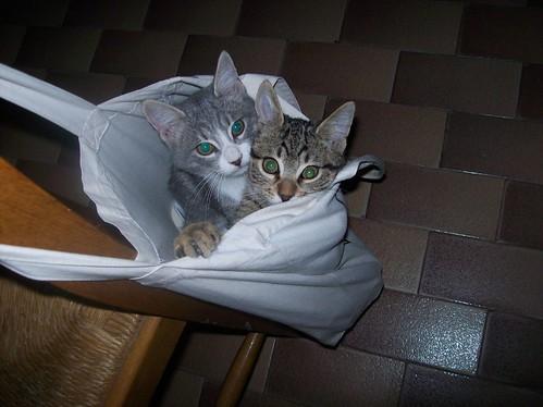 lo sapevate che ci sono anche i mici da borsa? dans gatti 2033376234_b66d43d8b2