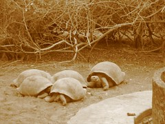 Artistic sepia tortoises