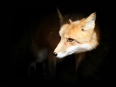 Sly ole Fox (Random Images from The Heartland) Tags: chris southdakota midwest bailey fox plains redfox chrisbailey songoftheprairie chrisbaileyimages