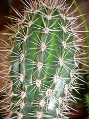 Cactus (Luigi Strano) Tags: cactus plants cacti bungabunga maua bloemen blomster bulaklak hoa flors çiçekler flori λουλούδια květiny crasas цветы geles lule virágok piantegrasse blom kukat cvijeće lilled blomme viragok цветя цвеќе ziedi цвеће naturewatcher квіти schedebotaniche botanicalnotes kbetki kuety