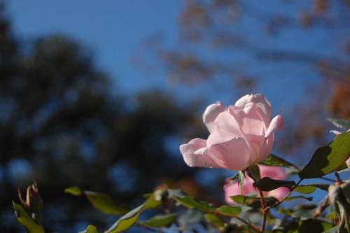 Pink flower, blue sky!